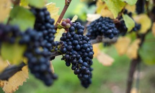Wine is under threat from climate change, so change to hardier grapes, experts warn专家警告说:葡萄酒正受到气候变化的威胁,应该改种更耐旱和耐热的葡萄品种